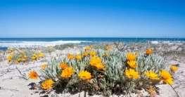 Namaqualand – Land der tausend und einer Blütenart