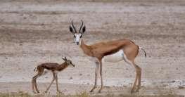 Springbock in Südafrika
