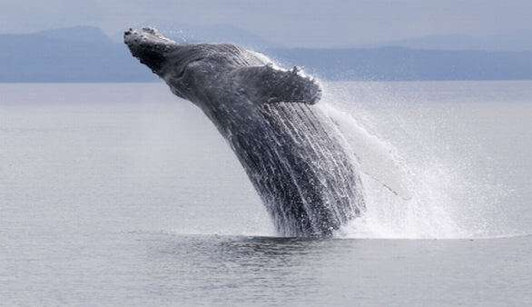 Whale Watching in Südafrika