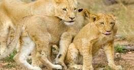 Löwen in Südafrika