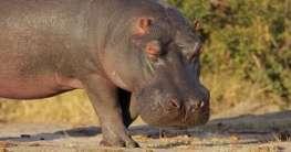 Nilpferd in Südafrika